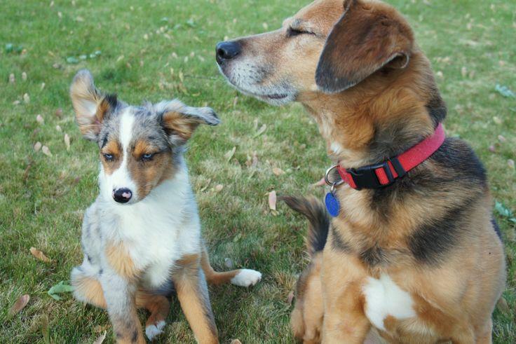 miniature australian shepherd. blue merle. beagle mix ...
