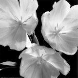Black & White Tulips  Darlene Shiels  art.com: Art Prints, Darlene Shiels, White, Art Com, Canvas, Products, Tulips Print, Black