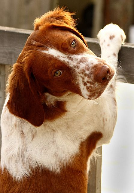 Rated the 2nd best type of dog for young, single adults: the Brittany. Yes, please.