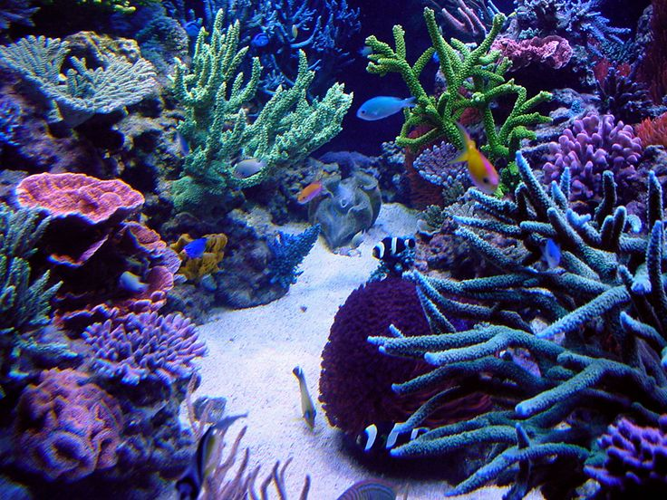 136 best images about reef aquarium on pinterest the all for Best community fish