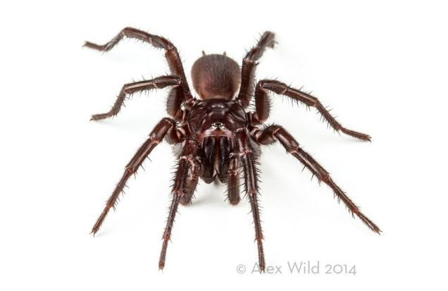Sydney funnel-web spider (Atrax robustus) - An Incredible Close-Up View Of One Of The World's Most Venomous Spiders
