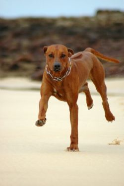 The Lion Hunter | African Lion Dog Breed...my Beaner