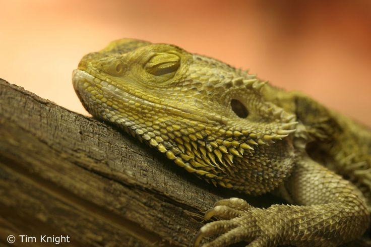 I really want a bearded dragon.