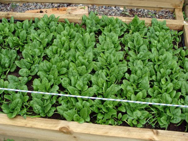 how to grow spinach- when to harvest it -how to store it
