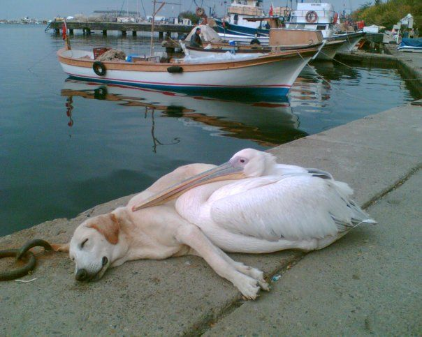 *♡* Fethiye, Turkey...a pelican and a stray dog...
