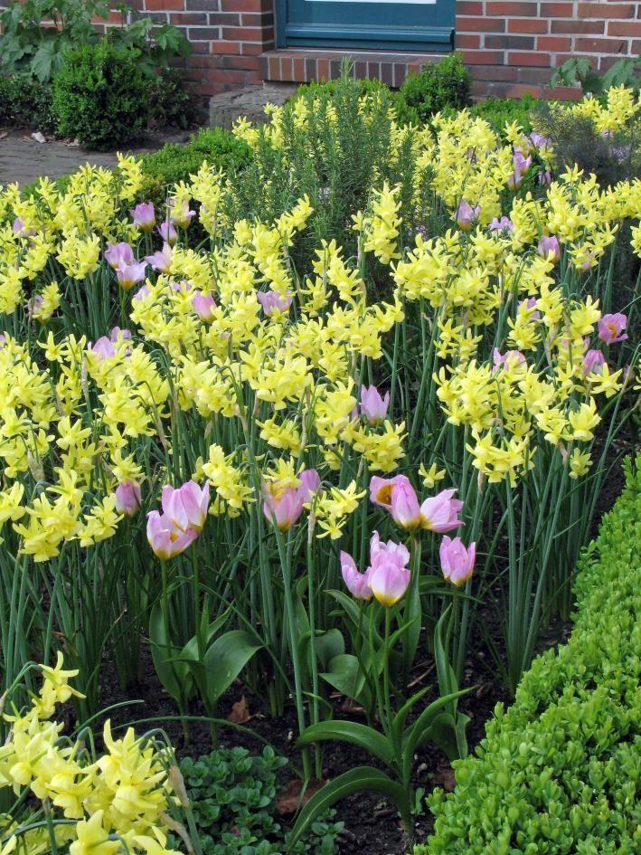 Tulpen Narzissen Frühling Garten