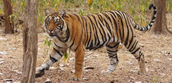 Les Tigres du Bengale https://www.getsholidays.fr/