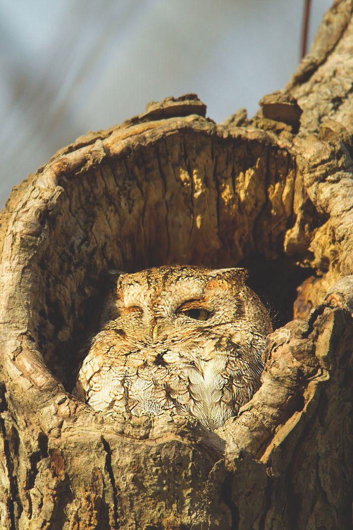 Eastern Screech Owl                                                                                                                                                     More