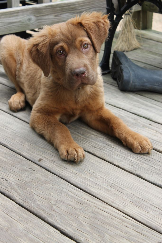 Chocolate lab / Golden retriever mix. I WANT A DOG SO BAD!!!