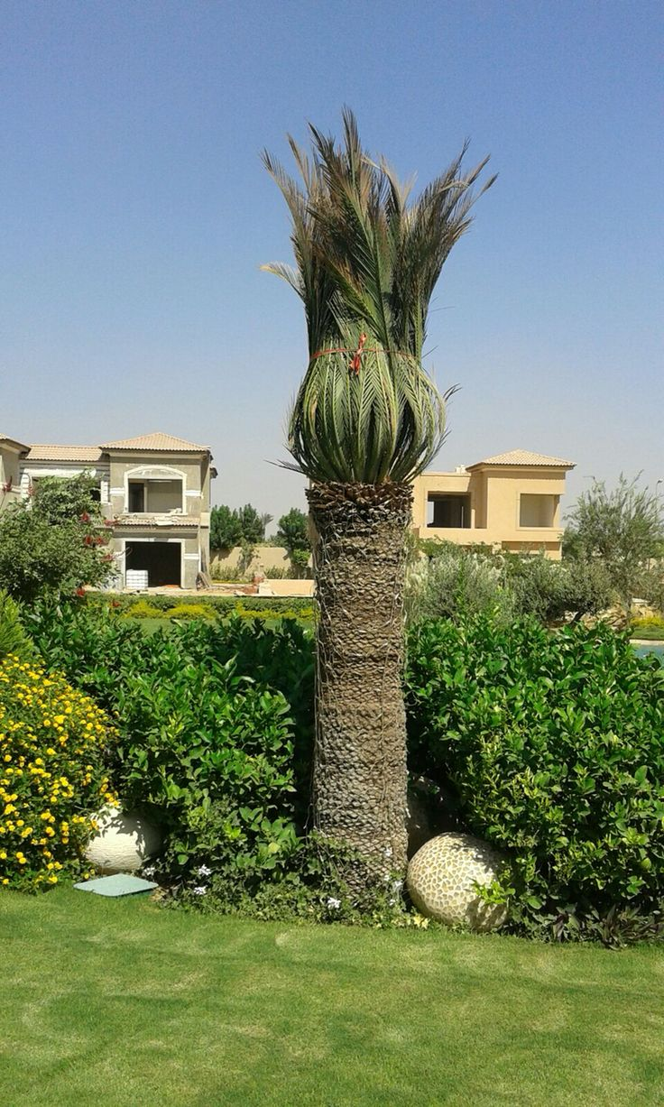 Revona palm ( one of the most expensive imported palms in egypt )