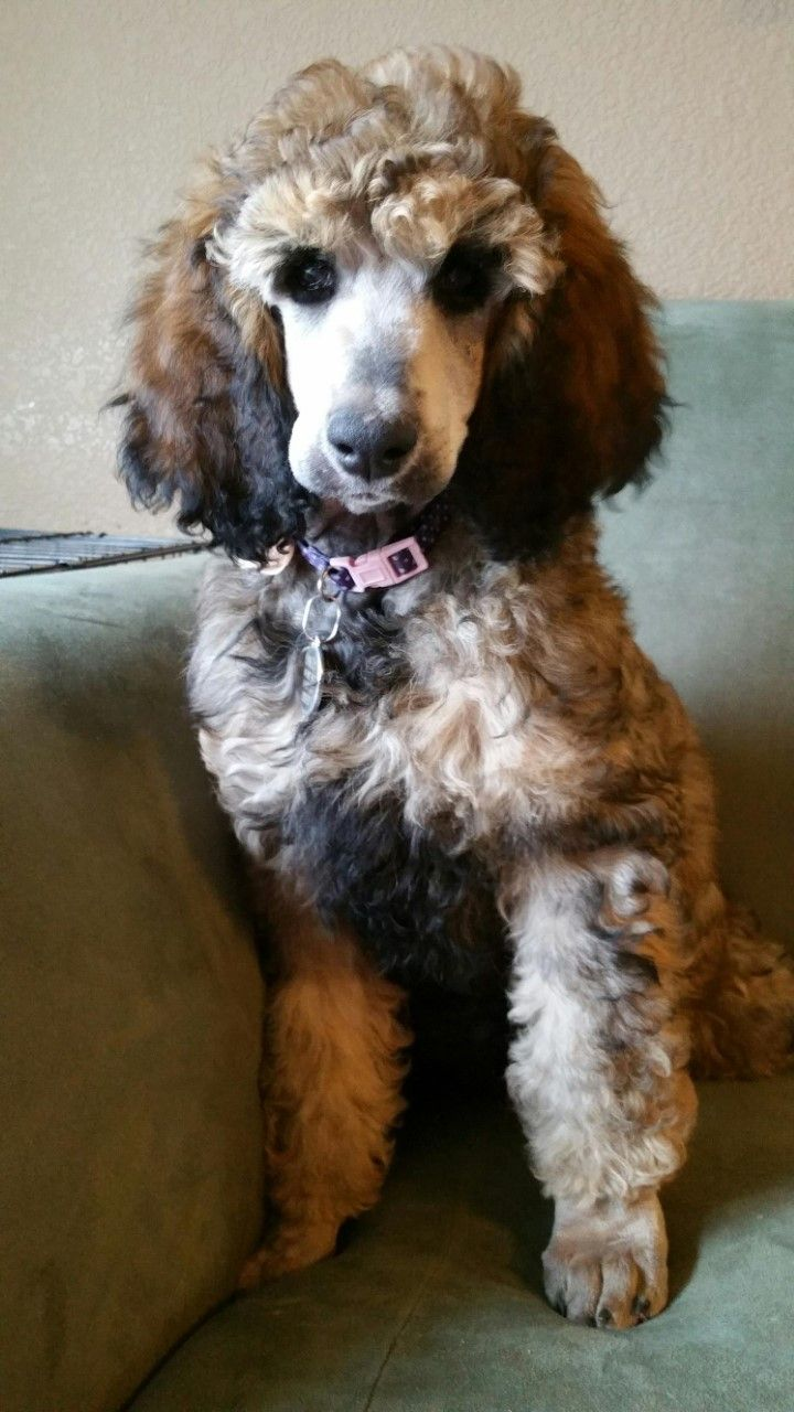 My Sable Standard Poodle Puppy Oakley She Is 10 Weeks Old