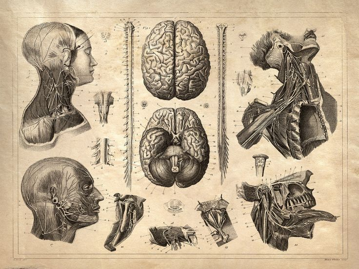 Vintage Anatomy Print Reproduction. Nervous by curiousprints