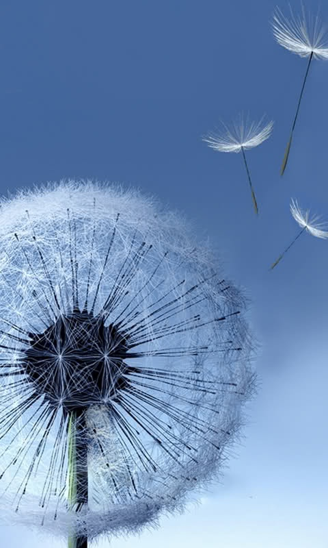 Dandelion Flower ~ it seems interesting that most young children are naturally drawn to these flowers, which they quickly & charmingly so, find they can enjoy waving or blowing into the air.