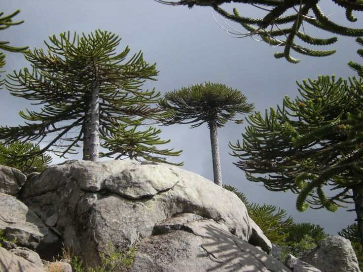 National chilean tree - Monkey puzzle tree or chilean pine