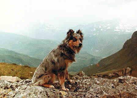 Pyrenean Shepherds / Berger des Pyrénées / Petit Berger / Pyrenees Sheepdog / Chien de Berger des Pyrénées