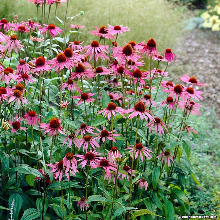 Purple Coneflower Magnus has showy pink flowers that attracts pollinators to your garden.  Leave the dead stems and flower heads over winter and birds will eat the seeds.  Easy to grow and great for beginner and experienced gardeners.  (Echinacea purpurea)