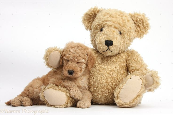 Cute Toy Goldendoodle puppy sleeping on Teddy bear. | DOGS ...