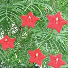 """Ipomoea quamoclit """"Cardinalis"""", Quamoclit pennata, Convolvulus pinnatus, Gelsomino rosso, Gelsomino d"""