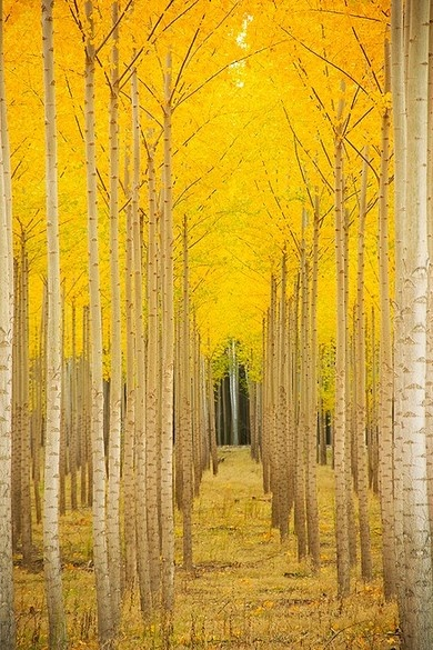 A golden lit path. #yellow #fall #trees: Nature, Autumn, Mellow Yellow, Beautiful, Trees, Vail Colorado, Places, Aspen Cathedral, Photo