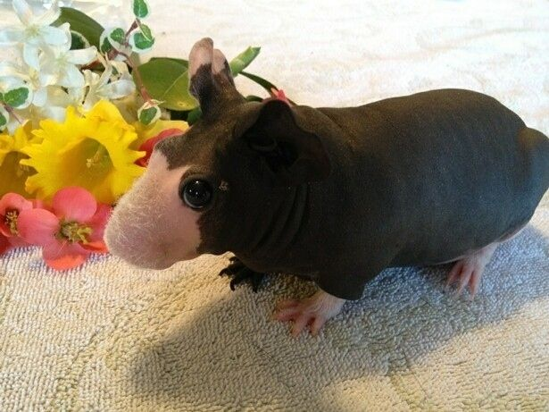 Sometimes they resemble Ghibli characters | Community Post: Skinny Pigs Make Everyone's Day Better