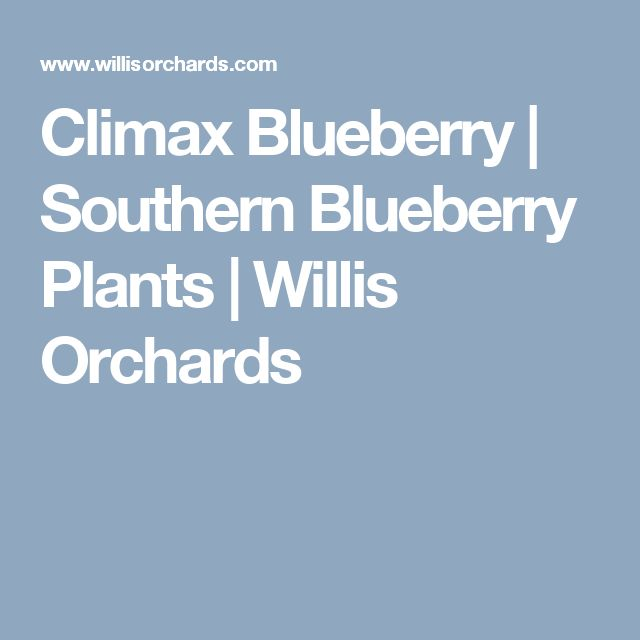 Popular Climax Blueberry Southern Blueberry Plants Willis Orchards