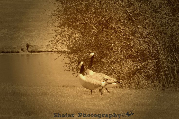 #Spring #geese  #shater_photography