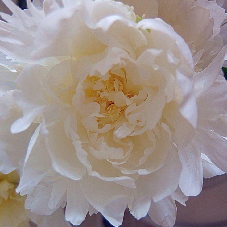 Pioni peony flower kukka