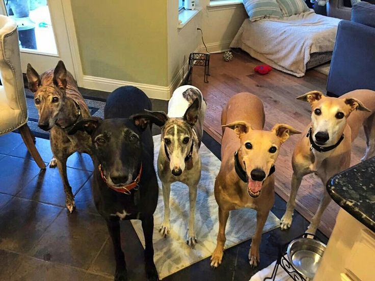 Attention! Tomorrow is Cyber Monday.  Please remember to use the special Amazon link on our website to benefit the hounds! It pays us more than Amazon Smile and you pay the same prices!