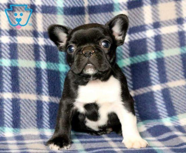 Posh French Bulldog Puppy For Sale Keystone Puppies Dog Behavior Dog Training Bulldog Puppies