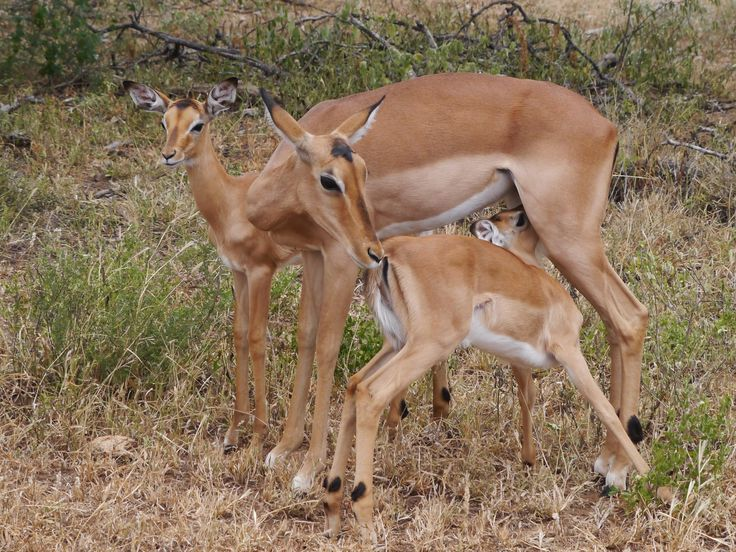 Impala mother with baby's