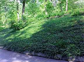 Massive bed of Vinca Minor Bowles.   massive bed (approximately 25' wide x 75' long) of Vinca Minor Bowles in a partially shaded area. Evergreen the year round, with an abundance of purple flowers in the Spring. Fertilization will produce even more flowers in the Spring and Summer.