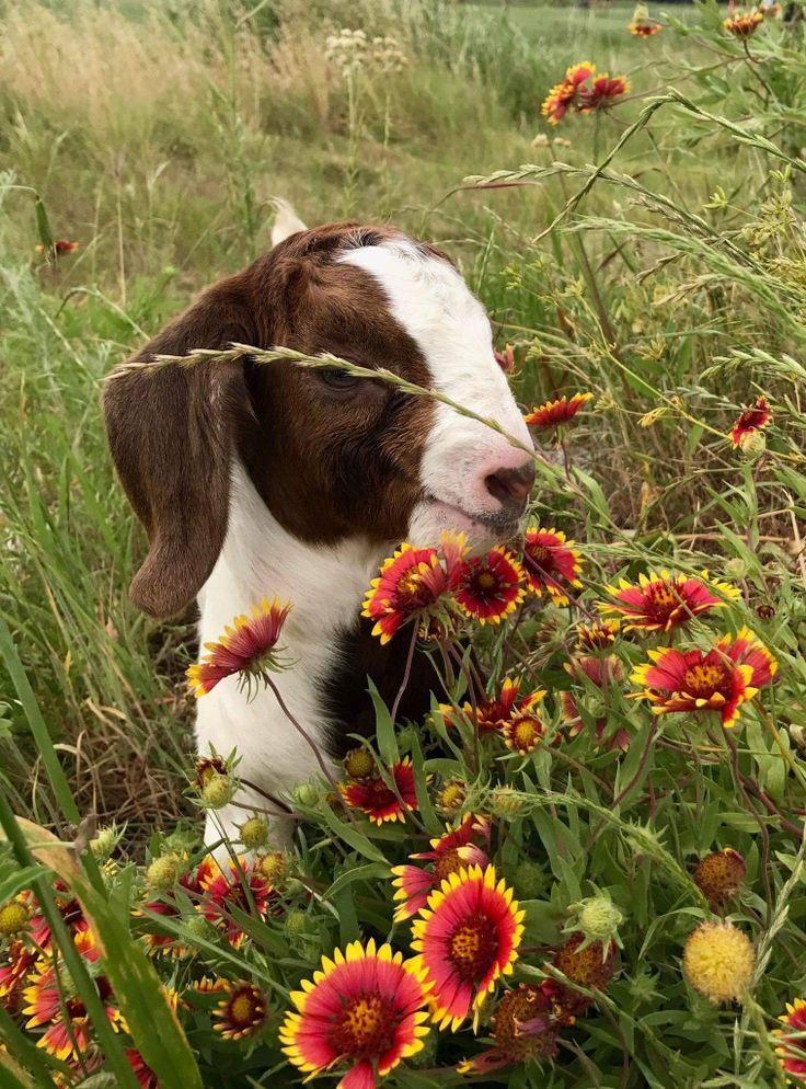 Idea by Heidi Hamblin on so cute Animals, Cow, Cute