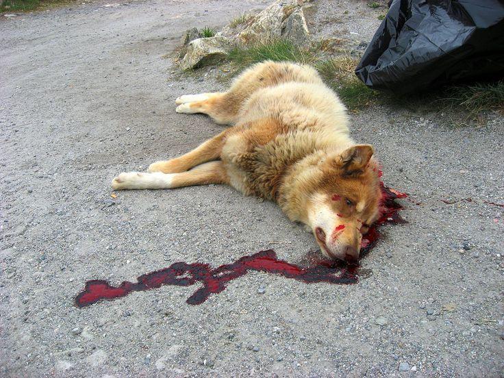 Tijdens de overval worden ook bijna al de honden van lucy doodgeschoten.