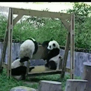 Pandas off Endangered Species List now but still endanger themselves