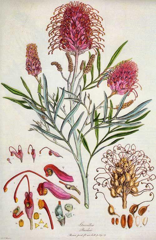 Ferdinand Bauer, Grevillea Banksii - a botanical dissection.
