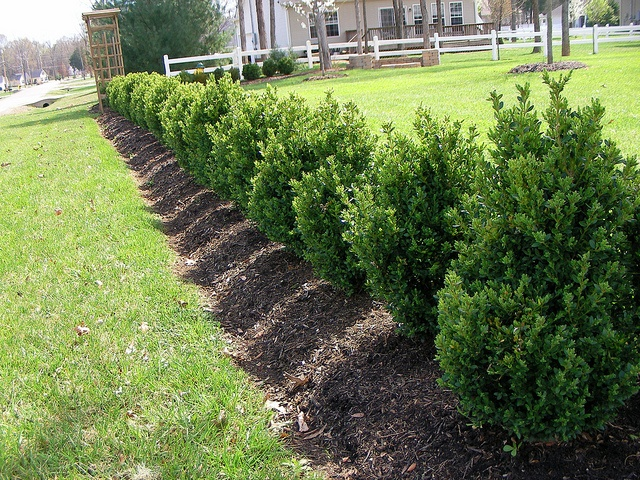 The 25 best ideas about green mountain boxwood on for Green bushes for landscaping