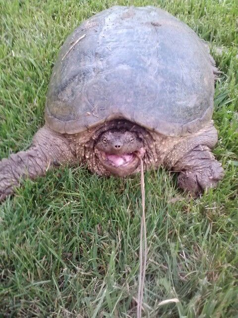 13 1/2 snapping turtle caught with a 6/0 gamakatsu hook