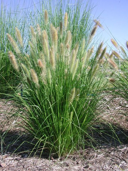 Pennisetum alopecuroides (Chinese Pennisetum, dwarf fountain grass, foxtail fountain grass, swamp foxtail grass) is a species of perennial grass native to Australia and Asia.