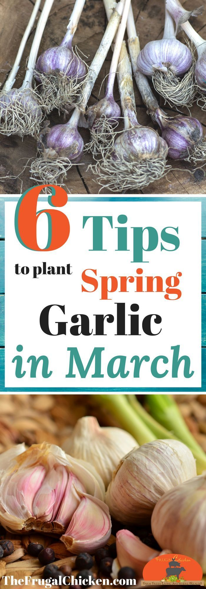 Ready to grow organic garlic to support your healthy homestead? Just dig the taste of garlic and want it in your garden? Here's how to grow it in March!