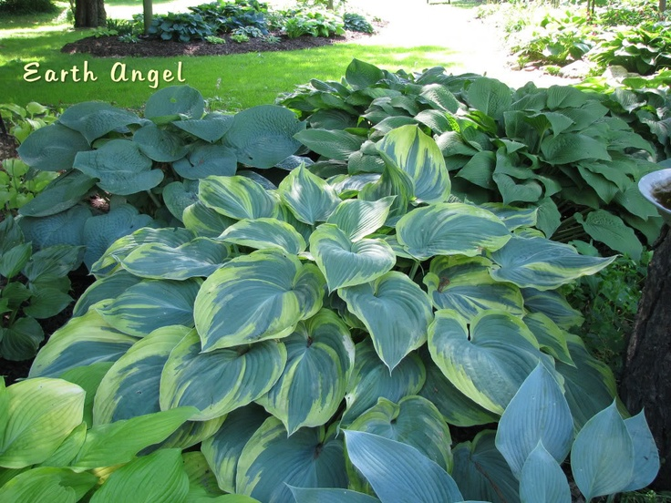 17 best images about hostas on pinterest gardens hosta gardens and shade plants - House plants that like shade ...