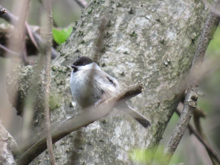 コガラ. Willow tit. 27 April 2017.
