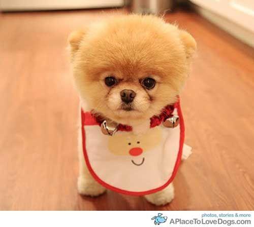 Food time !Cute Animal, Puppies, Cutest Dogs, Teddy Bears, Google Search, Pomeranians, Bibs, Desktop Wallpapers, Little Dogs