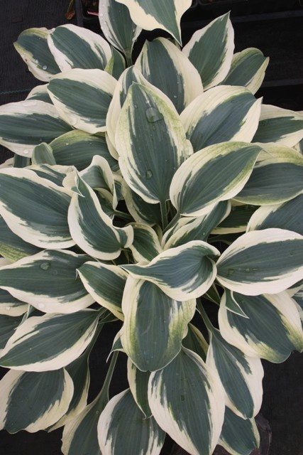 "Blue Ivory Hosta!   16"" H (20-24"" in flower) (Plant 30"" apart)  Bloom Time: Late Summer   Sun-Shade: Mostly Sunny to Full Shade   Soil Condition: Normal, Acidic     Extra wide creamy white borders surround remarkably blue centers in spring. Blue Ivory is eye candy for the Hosta enthusiast. Edges will progress to a clean white as the center deepens to blue-green in summer. Lavender flowers in mid summer."
