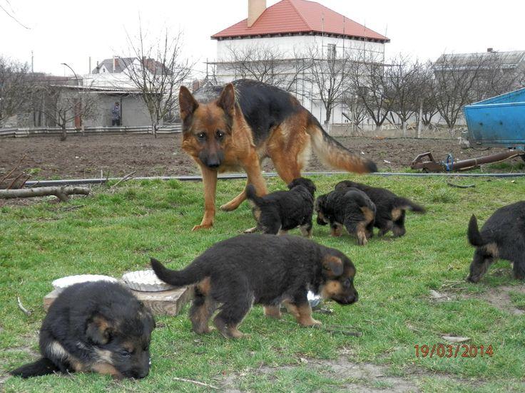 Bawlers.Голосистые щенки немецкой овчарки , 1 месяц.Одесса.