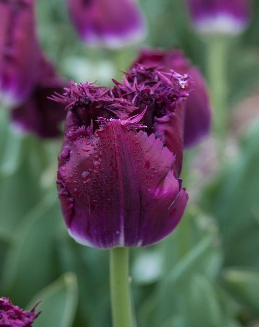 Tulip Purple Crystal