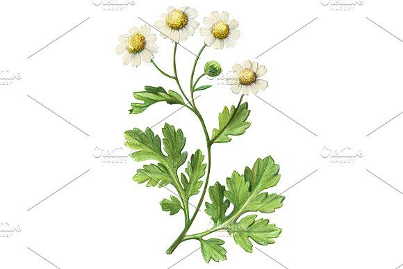 Feverfew Pencil Drawing Isolated Pencil Drawings Feverfew Feverfew Plant