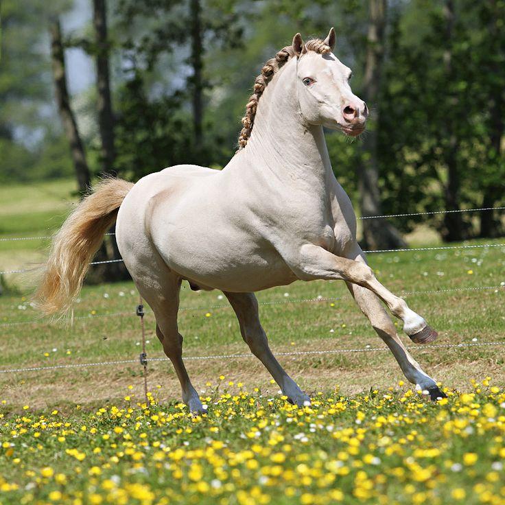 liczba najlepszych obraz w na temat welsh pony cob mountain pony na pintere cie 1157 my liwi. Black Bedroom Furniture Sets. Home Design Ideas