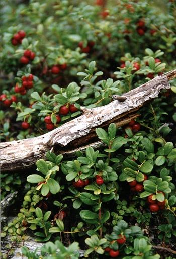 Tyttebær ('mama')