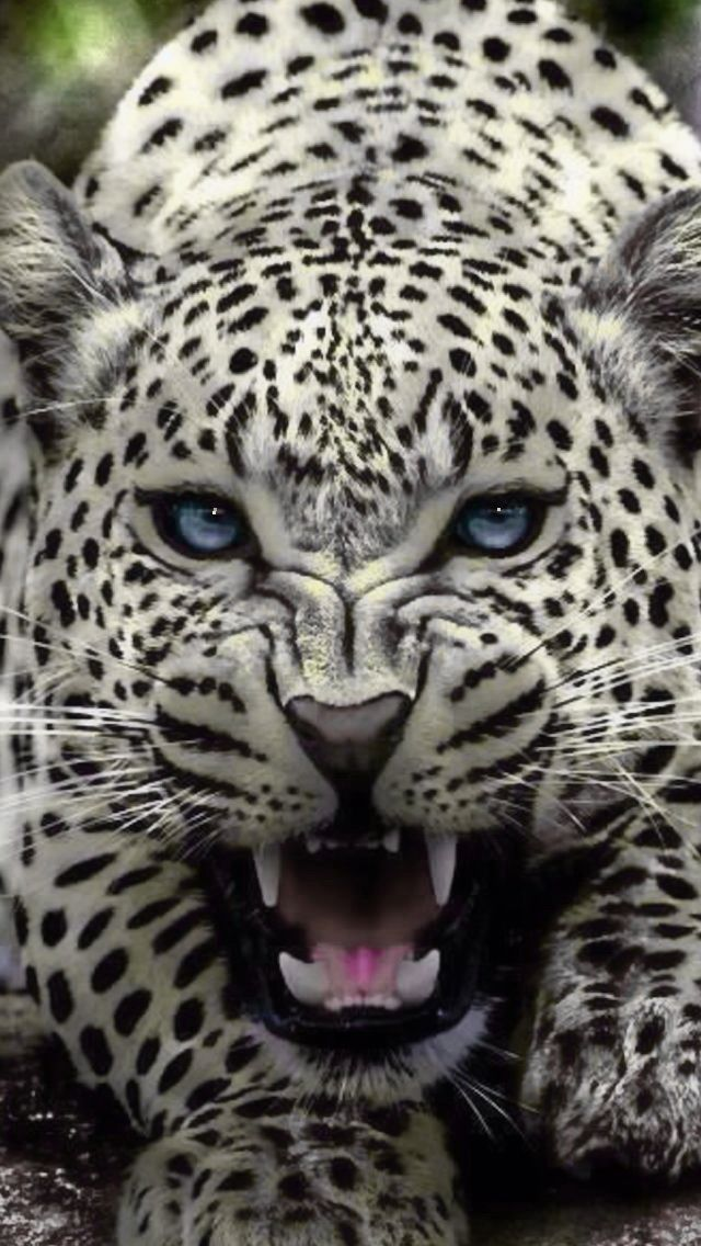 White-coated Leopard
