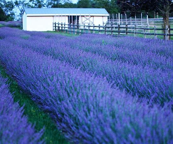 This variety of lavender truly is phenomenal